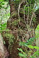 Gnarly kohekohe trunk with cauliflorous flowers.jpg
