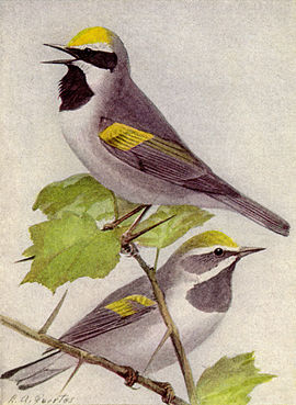 Golden-winged Warbler NGM-v31-p308-C.jpg