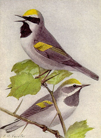 Golden-winged warbler - Male and Female birds