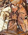 Goliath birdeater - Araña mona (Theraphosa blondi) (14924364629).jpg