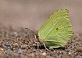 Gonepteryx sp., Nera River Gorges, Banat Mountains, SW Romania (36417259923).jpg