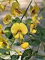 Goodia lotifolia flowers.jpg