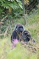 Gorilla - Flickr - p a h (3).jpg