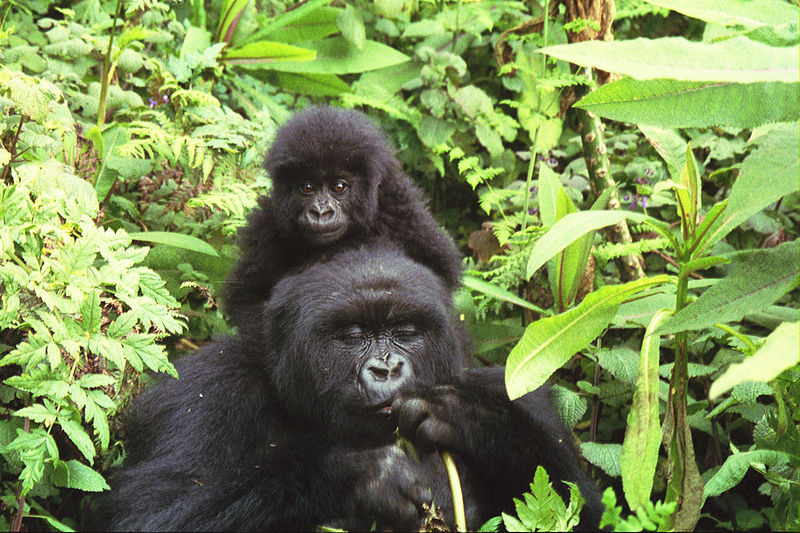 Archivo:Gorilla mother and baby at Volcans National Park.jpg