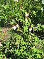 Gossypium arboreum1.jpg
