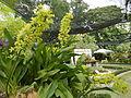 Grammatophyllumcitrinumjf9183 01.JPG