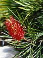 Gran Canaria (Flora) 07.jpg