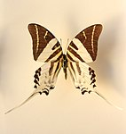 Graphium androcles (Sulawesi).1.JPG