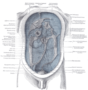 Left gastric artery - Diagram to show the lines along which the peritoneum leaves the wall of the abdomen to invest the viscera.
