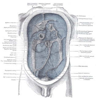 Peritoneum serous membrane that forms the lining of the abdominal cavity or the coelom—it covers most of the intra-abdominal (or coelomic) organs—in amniotes and some invertebrates