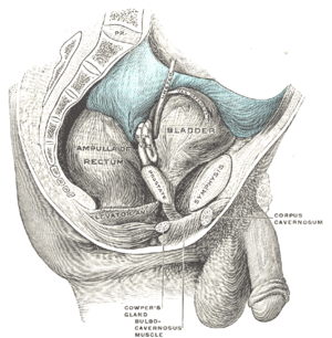 Recto-vesical pouch - Male pelvic organs seen from right side. Bladder and rectum distended; relations of peritoneum to the bladder and rectum shown in blue. The arrow points to the rectovesical pouch.