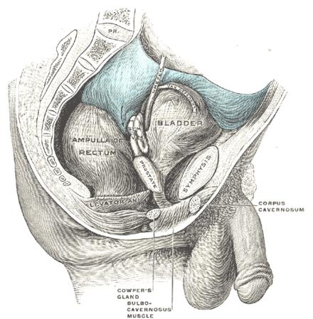 Glándula bulbouretral - Wikiwand