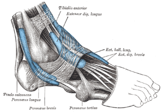 Extensor digitorum longus muscle - The mucous sheaths of the tendons around the ankle. Lateral aspect. (Extensor dig. longus labeled at upper right.)