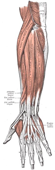 musculus extensor digiti minimi (mezi musculus extensor digitorum a musculus extensor carpi ulnaris)