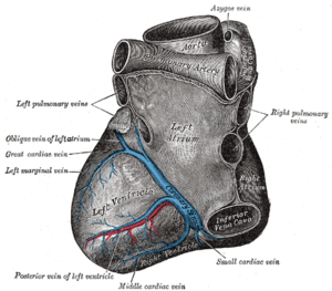 Posterior interventricular sulcus - Base and diaphragmatic surface of heart. (Posterior interventricular sulcus visible at lower left, where the middle cardiac vein is labeled.)