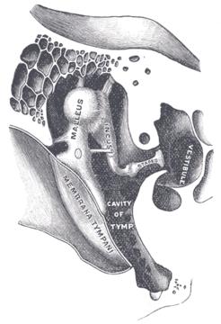 Staffa Anatomia Wikipedia