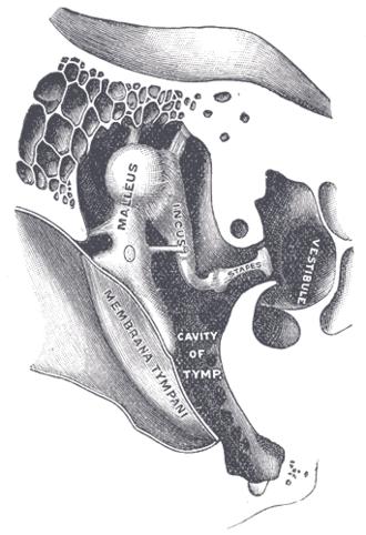 Vestibule of the ear - Image: Gray 919