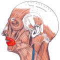 Gray — musculus orbicularis oris.png