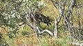 Gray wolf in Denali National Park (6070650493).jpg