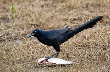 Great-tailed Grackle, Huauchinango, Puebla, Mexico (148541059).jpg
