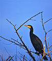 Great Cormorant (Phalacrocorax carbo) (20493714720).jpg
