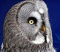 Great Gray Owl - Flickr - gailhampshire.jpg