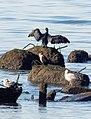 Great cormorants (71428).jpg