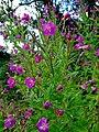Great hairy willowherb (Epilobium hirsutum) - geograph.org.uk - 926910.jpg