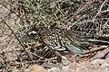 Greater Roadrunner Sweetwater Wetlands Tucson AZ 2017-04-21 07-55-43 (34165251912).jpg
