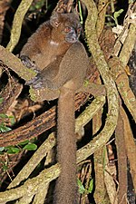 greater bamboo lemur perched on large, woody vines