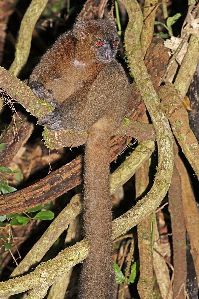 The average litter size of a Greater bamboo lemur is 1