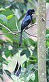 Greater racket-tailed drongo @ Kanjirappally 01.jpg