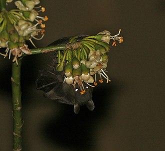 Greater short-nosed fruit bat - Image: Greater short nosed fruit bat (Cynopterus sphinx) feeding on Kapok (Ceiba pentandra) at night in Kolkata W IMG 3860