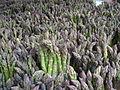 Green Asparagus New York 11 May 2006.jpg