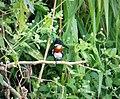 Green Kingfisher Chloroceryle americana (42075226364).jpg