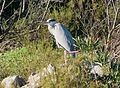 Grey Heron. Ardea cinerea - Flickr - gailhampshire.jpg