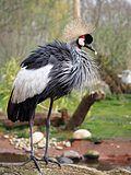 Grey crowned crane at Martin Mere