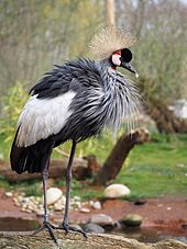 Crane (bird) - Wikipedia