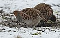 Grey partridge (40403937553).jpg