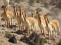 Group of vicuña in Arequipa Region, Peru.jpg