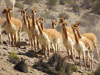 Vicuña - Group of vicuña near Arequipa, Peru.