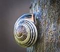 Grove snail (51273648101).jpg