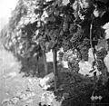 Grozdje v vinogradu, Gradišče 1958.jpg