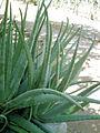 Grupo de Plantas de Zabila.JPG