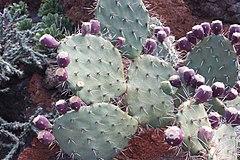 240px guatiza, cactus garden, opuntia engelmannii