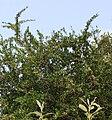 Gymnosporia heterophylla - African Spikethorn tree 4.jpg