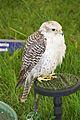 Gyr X Saker Falcon, Cheshire Game and Country Fair 2014.jpg