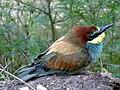Gyurgyalag (Merops apiaster).jpg