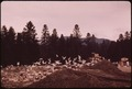 HERRING GULLS AND TRASH AT THE LAKE PLACID, NEW YORK LANDFILL, IN THE ADIRONDACK FOREST PRESERVE. THESE GULLS ARE... - NARA - 554542.tif