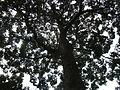 HK Park Swietenia Mahagoni Tree crown Cuba Mahogany Meliaceae Aug-2012.JPG